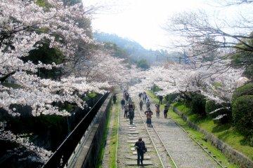 ซากุระบนทางรถไฟสายเก่า (Keage)