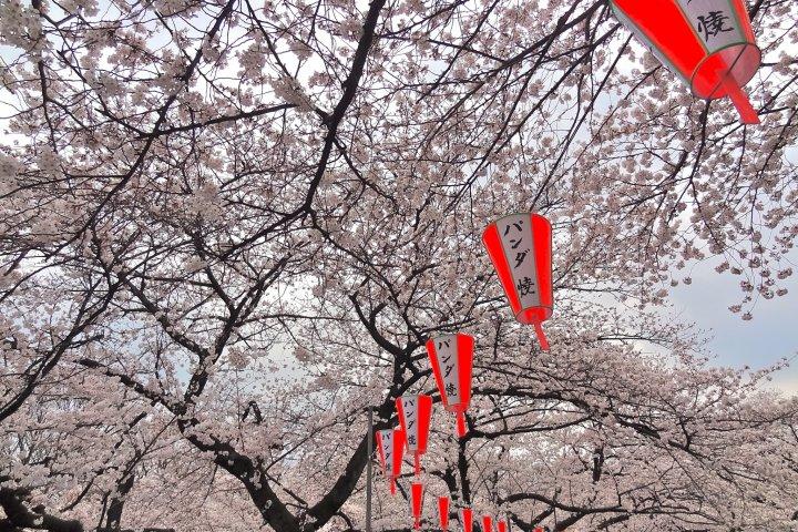 ชมดอกซากุระที่ สวนอูเอโนะ