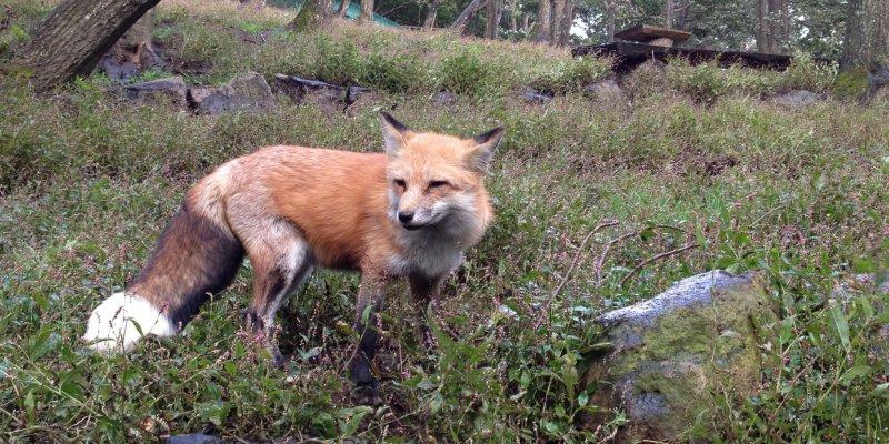 zao fox village miyagi japan travel tourism guide