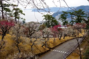 Flores de ameixeira na Baía de Sagami