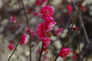 Flores de ameixeira vermelhas no jardim de ameixeiras