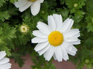 زهرة أخرى من البيوت الزجاجية ، يمكنك شراء مجموعة مختارة من البذور هنا ، ونباتاتي المنزلية في الواقع جلبتها من حدائق العشب في كوبي .