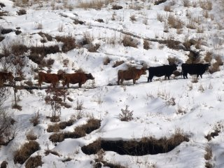 Cows trying to find their footing in the Aso highlands