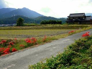 Des spider lilies rouges à côté d'une route de campagne