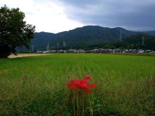 Spider lilies rouges contrastant avec les champs verts et les montagnes bleues