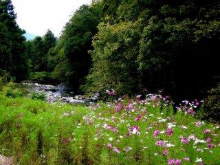 Des cosmos en fleurs à côté de la rivière