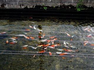 De jeunes carpes dans un canal, protégées des oiseaux par des ficelles