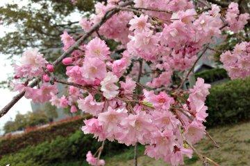 Bersemi di Taman Miyagawa-Tsutsumi