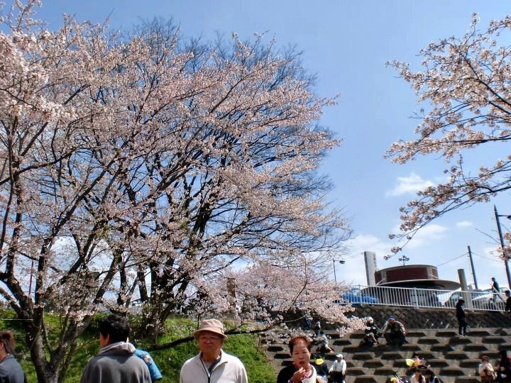 Strolling through the sakura park on a bright day