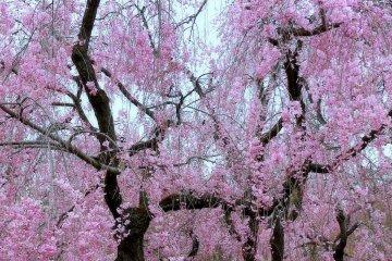 Mùa xuân ở Vườn thực vật Kyoto