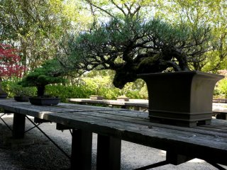 Bonsai pine trained in an elegant shape