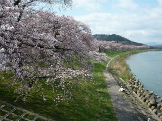 The Shiroishi River, lined with cherry trees in full bloom