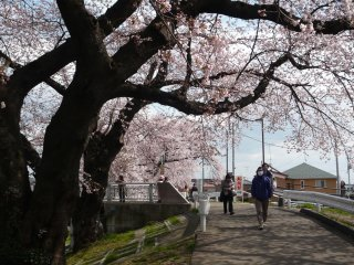 Local people strolling along the river enjoying cherry blossoms