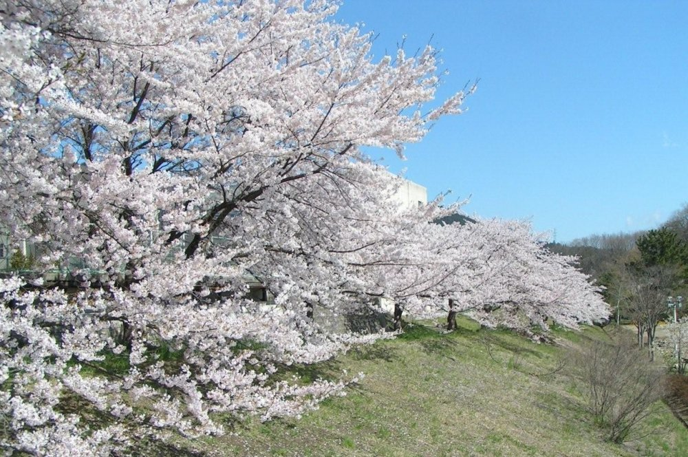 Cherry blossoms in full bloom at the river bank
