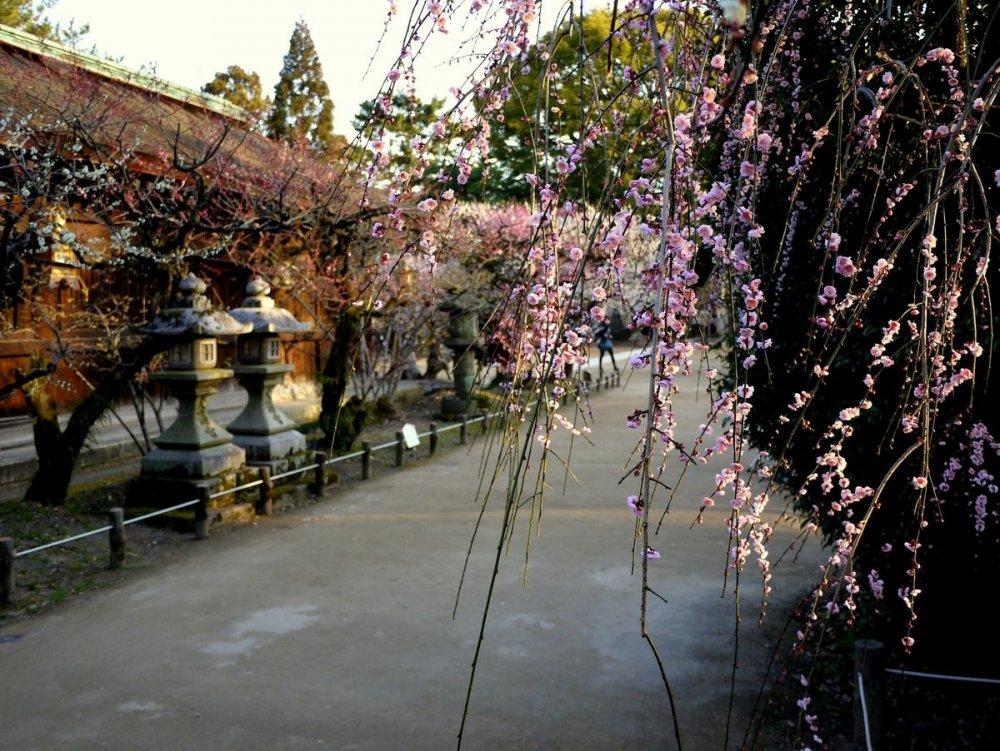 가지를 늘어뜨린 매화나무와 옅은 색의 매화꽃