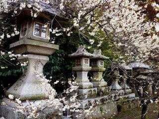 하얀 매화꽃과 석등