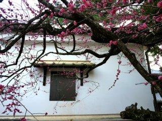작은 창 앞의 매화꽃나무