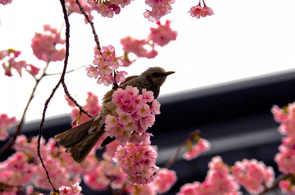 Edo-higan cherry blossoms