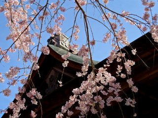 Weeping cherry and blue sky