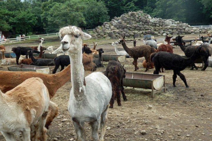 日本最大のアルパカ牧場