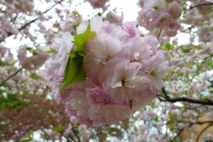 Sakura at the Osaka Mint