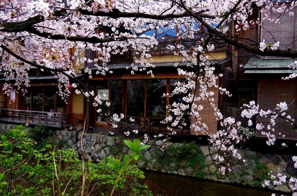 Les cerisiers et les maisons machiya