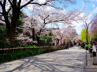 Contraste de couleur entre les cerisiers et les saules pleureurs