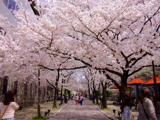 Un tunnel de fleurs de cerisier