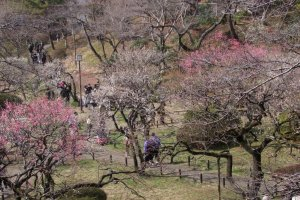 About 200 plum trees covering 1100 square meters gradually open, and make the park a very pleasant place to hang out.