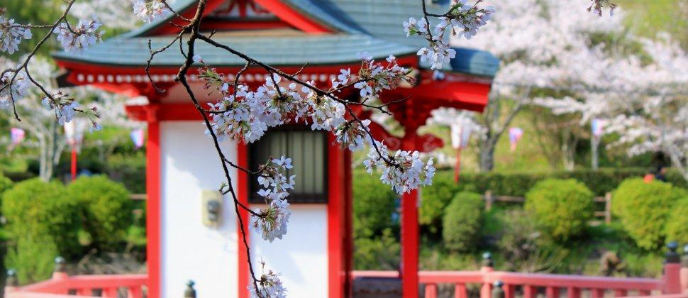 Cherry Blossoms: Mobara Park, Chiba