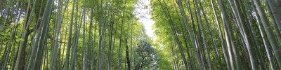 The Bamboo Forest of Arashiyama