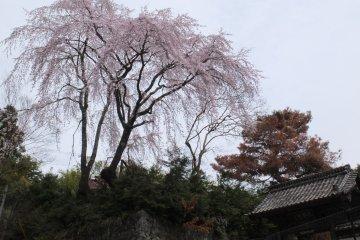 산속의 벚꽃마을