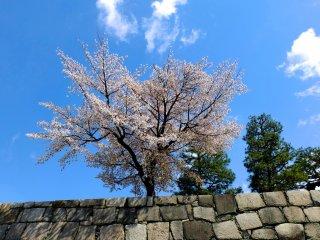 ต้นซากุระสุดสวยยืนเด่นเหนือกำแพง ปราสาทนิโจะ เกียวโต