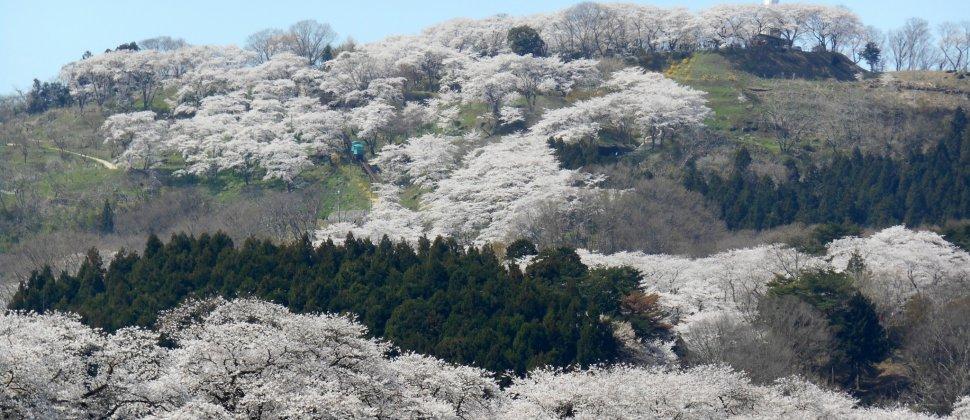 しばた桜まつり : 白石川編