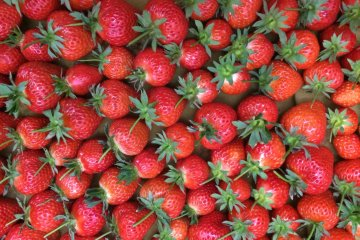 Strawberry Farm in Fukuoka