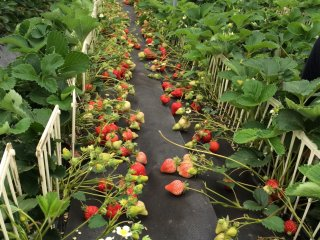 Amaou: a famous type of strawberry in Japan