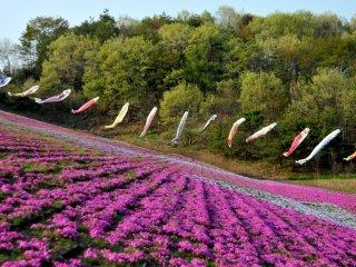 시바자쿠라는 보통 분홍이나 자주, 보라색이 대부분이지만 드물게 하얀색도 있어요.