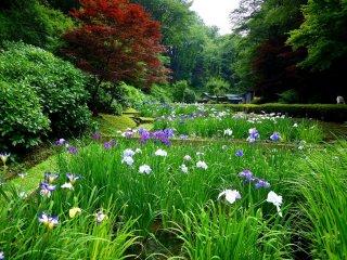 En regardant vers l'extrémité des étangs d'iris