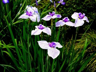 Si vous aimez les iris vous allez certainement apprécier la gamme de couleurs différentes et les différentes variétés