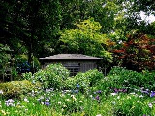Des iris devant la petite maison du moulin