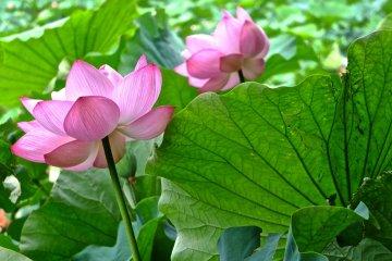 Admirez les Lotus de Yokohama