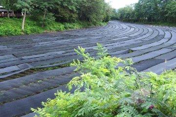 Trang trại wasabi vào mùa hè