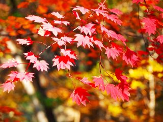 Autumn in the NasuHighlands is a truly magnificent time, with wonderful drives through the Nasu mountains, cable cars and leisurely walksthrough the daily changing color