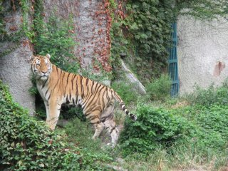 A tiger eagerly awaits its meal provided by the zoo keepers