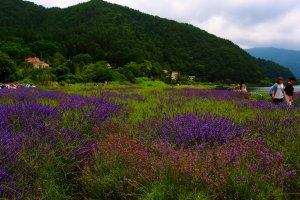 Seas of lavender at theFujikawaguchiko Herb Festival