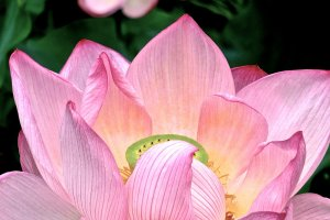 The Japanese Lotus is bold yet delicate