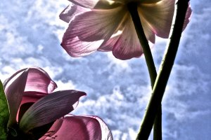The Japanese Lotus is full of joy and spirit