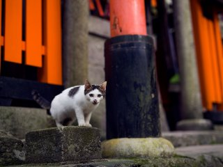 """Meow""! A kitten stands guard beneath one of Fushimi Inari's orange 'torii' gates"