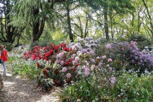 ดอกโรโดเดนดรอน (Rhododendron) หรือดอกกุหลาบพันปี สวนพฤกษศาสตร์เมืองเกียวโต (Kyoto Botanical Garden)
