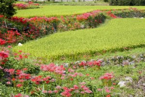 Red and red-and-white spider lilies line these terraced rice fields each September